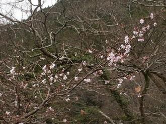 Tsukigatani_sakura