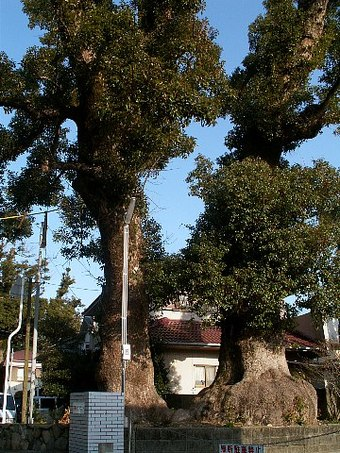 Hiwasahatimantree02