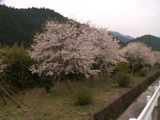 Sakura_aikawa