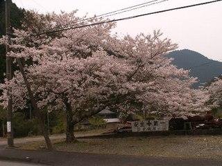 Sakura_sasamidani