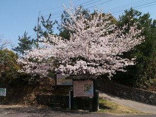 Sakura_siroyama070405