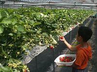 Strawberryfarm01_1