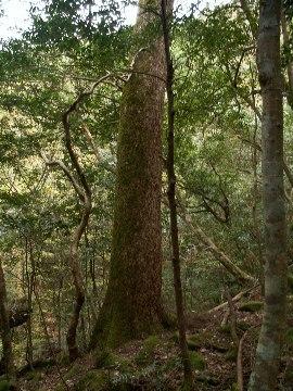 Yasuketani_tree01
