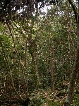 Yasuketani_tree02_1