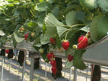 Strawberryfarm02